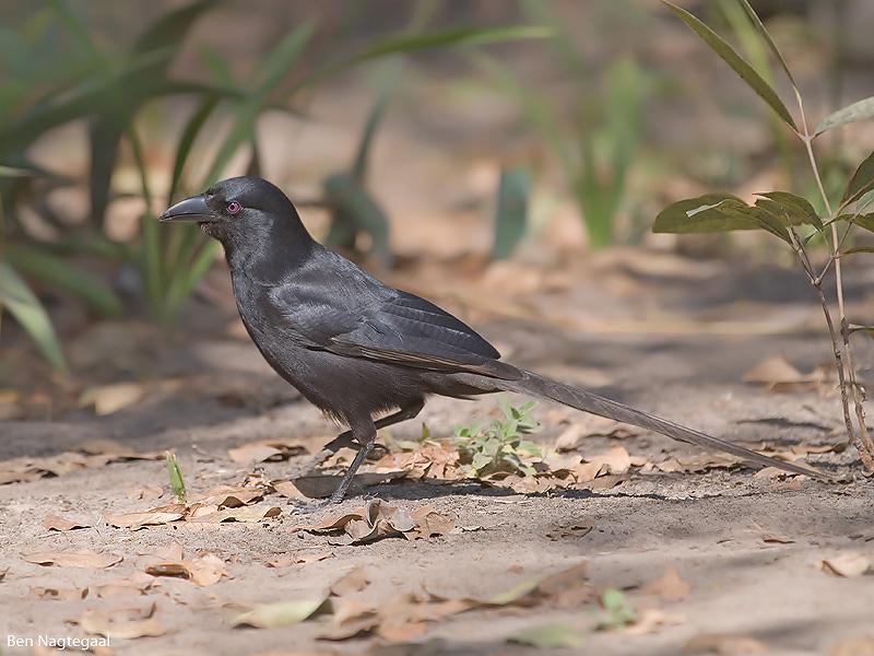 Piapiac - Piapiac - Ptilostomus afer