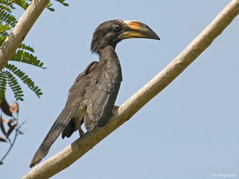Bonte tok - African pied hornbill - Tockus fasiatus