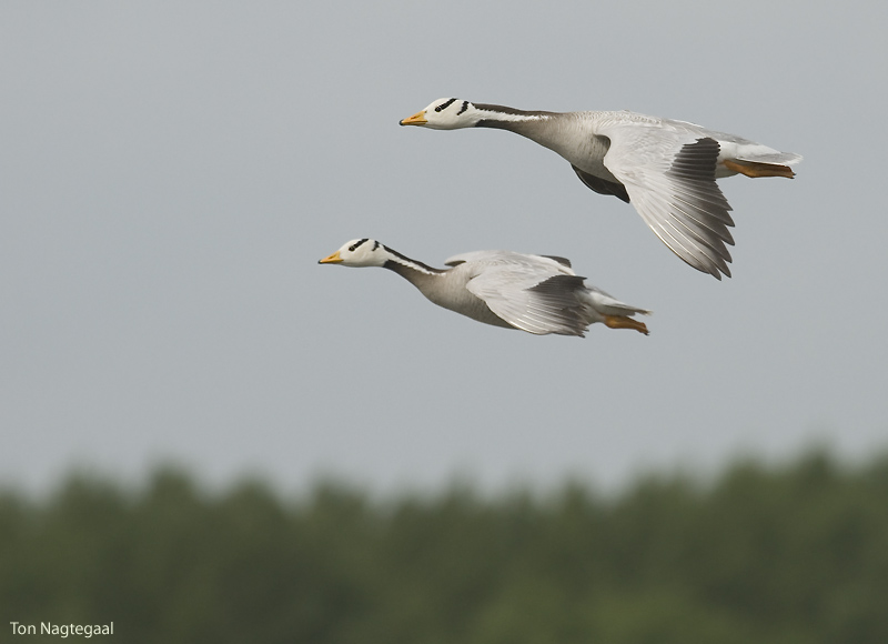 Indische gans - Barheaded goose - Anser indicus