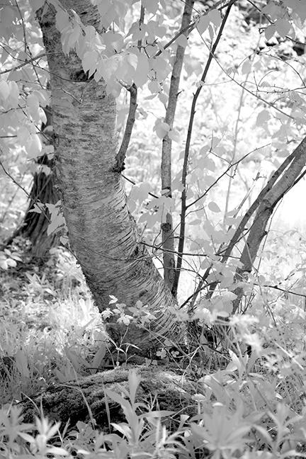 Birch #2
