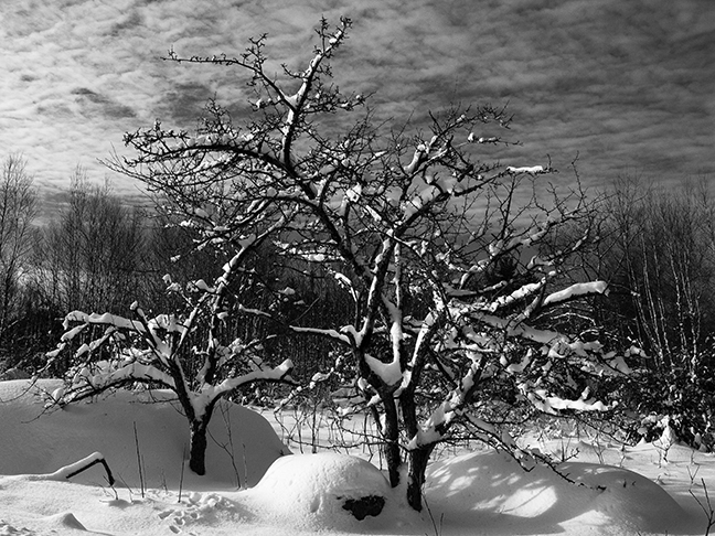 Winter Trees and Rock #2