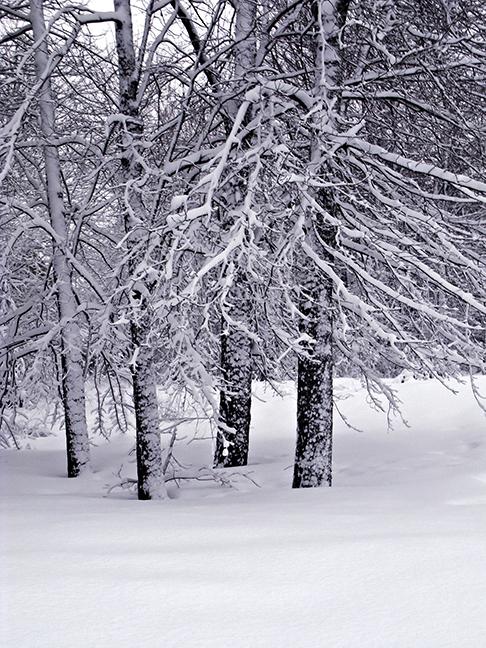 Winter Maples #2