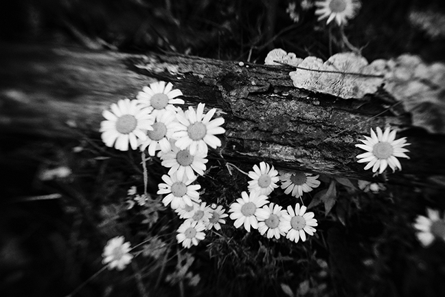 Daisies and Fungus Black and White
