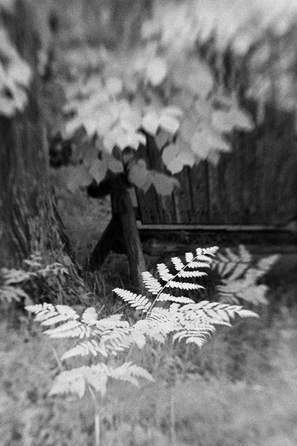 Ferns by Bench