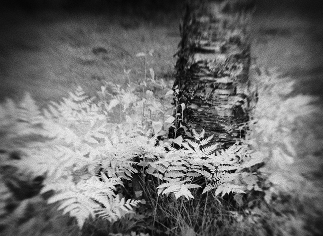 Ferns by Birch