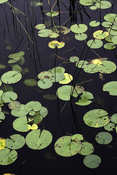 Lilies in Little Long Pond #1