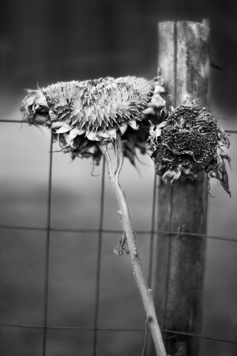 Sunflower Heads #1