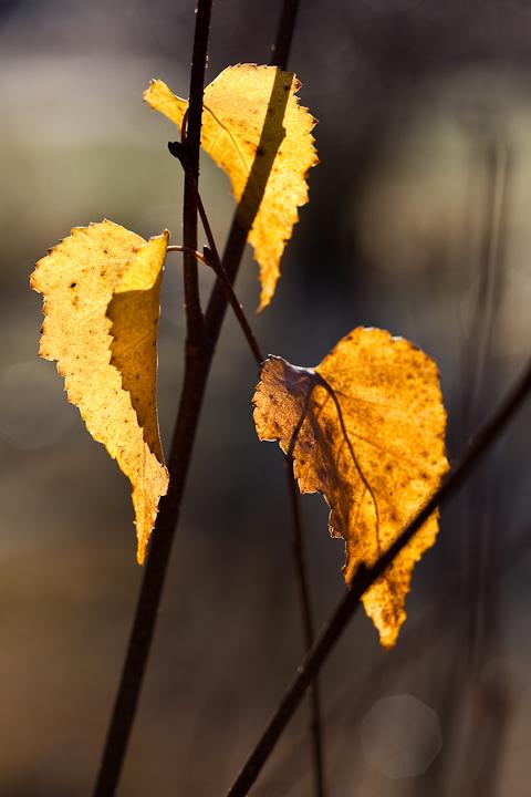 Last Leaf Trio