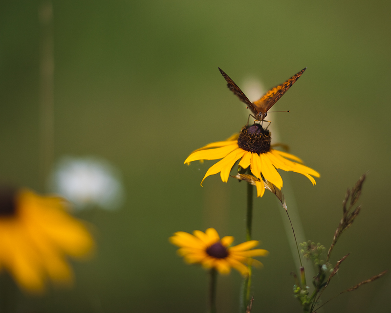 Black-eyed Susan with Great Spangled Fritillary Butterfly