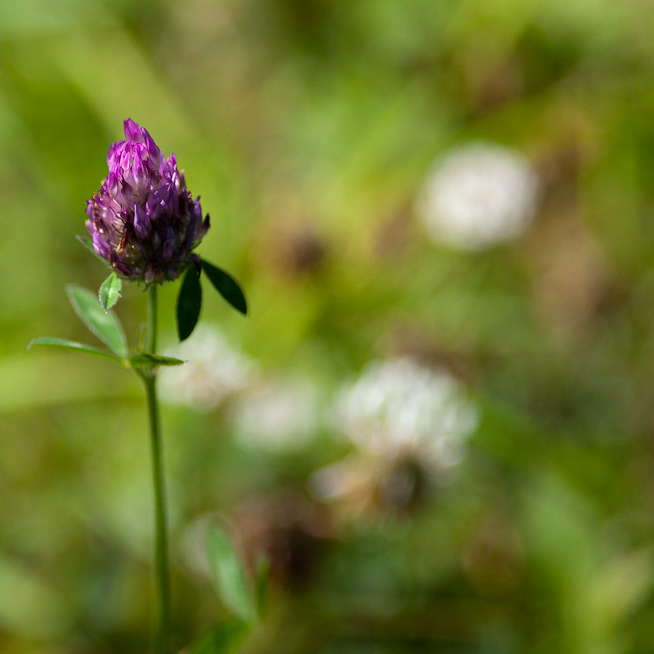 Purple Clover Flower