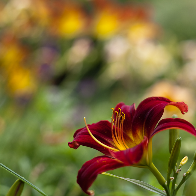 Red Lily with Lilies in Background