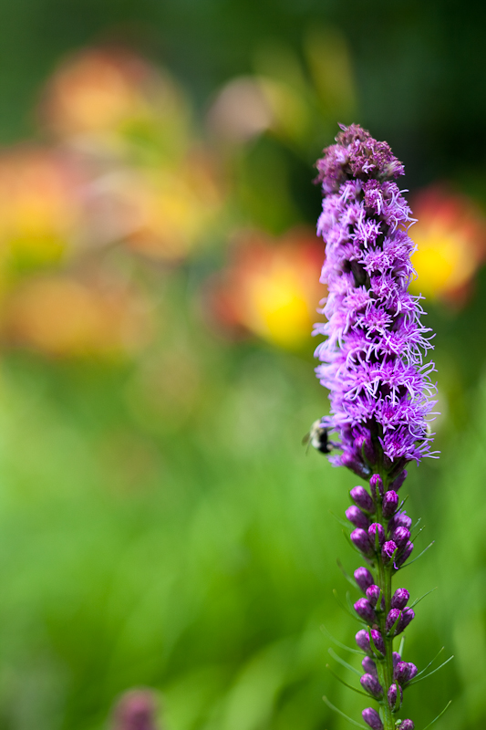 Liatris with Lilies in Background