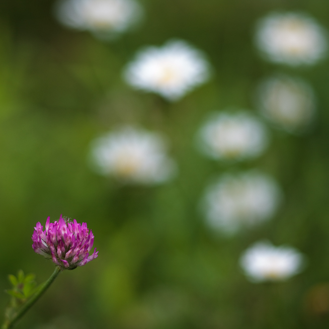 Clover and Daisies #2