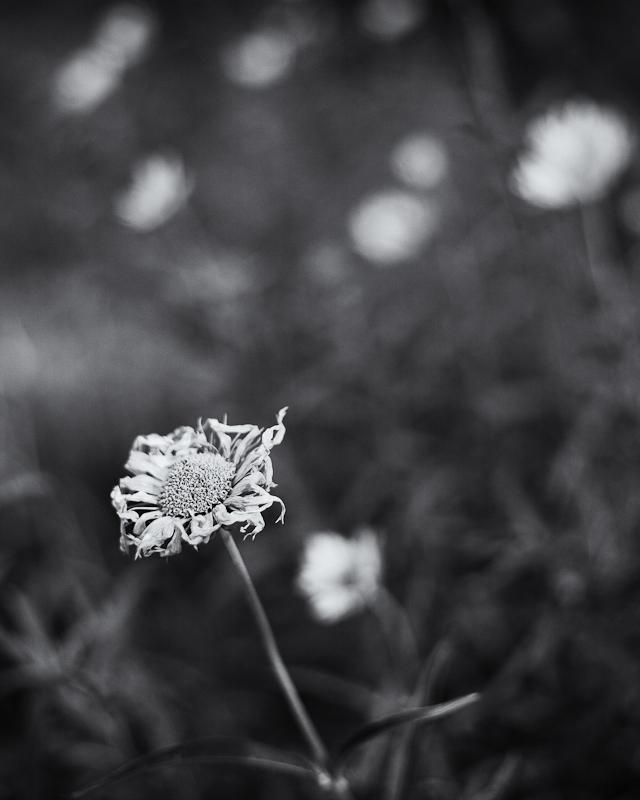 Dying Little Sunflower
