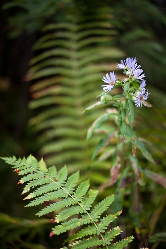 Asters and Ferns #2