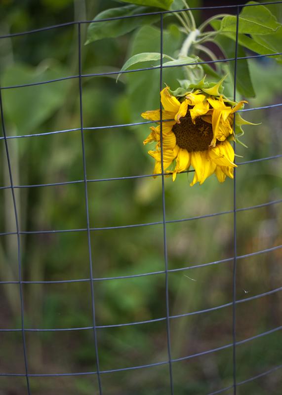 Imprisoned Sunflower