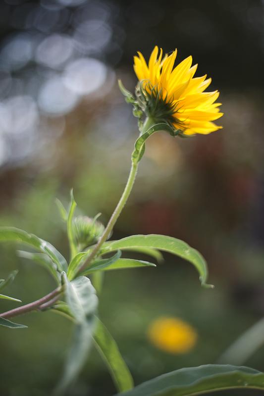 Little Yellow Sunflower from Below #1