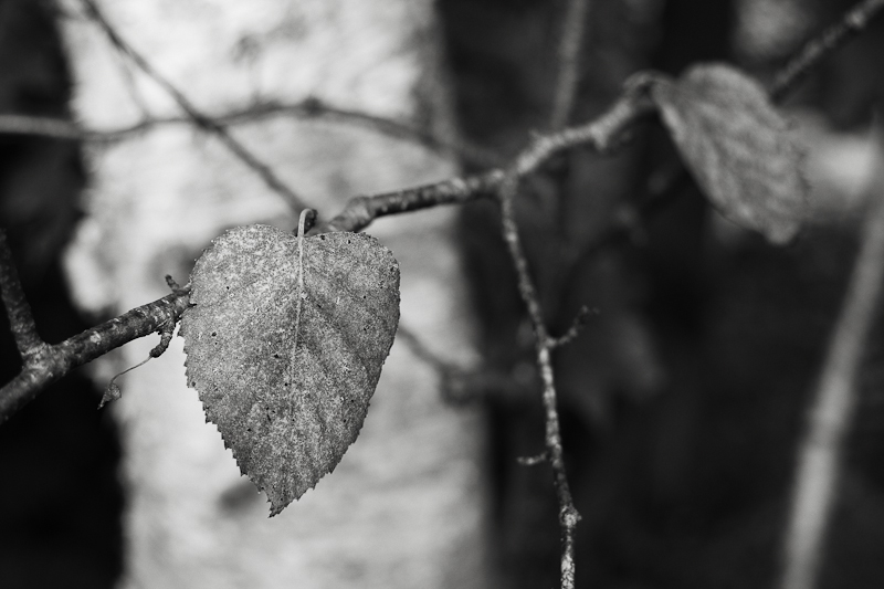 Early Last Birch Leaves Monochrome