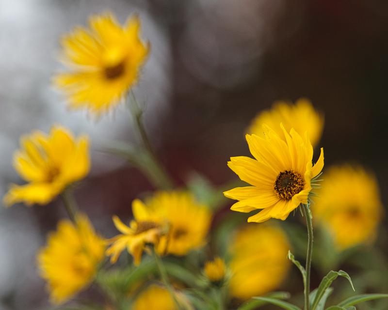 Little Sunflowers by Turning Maples