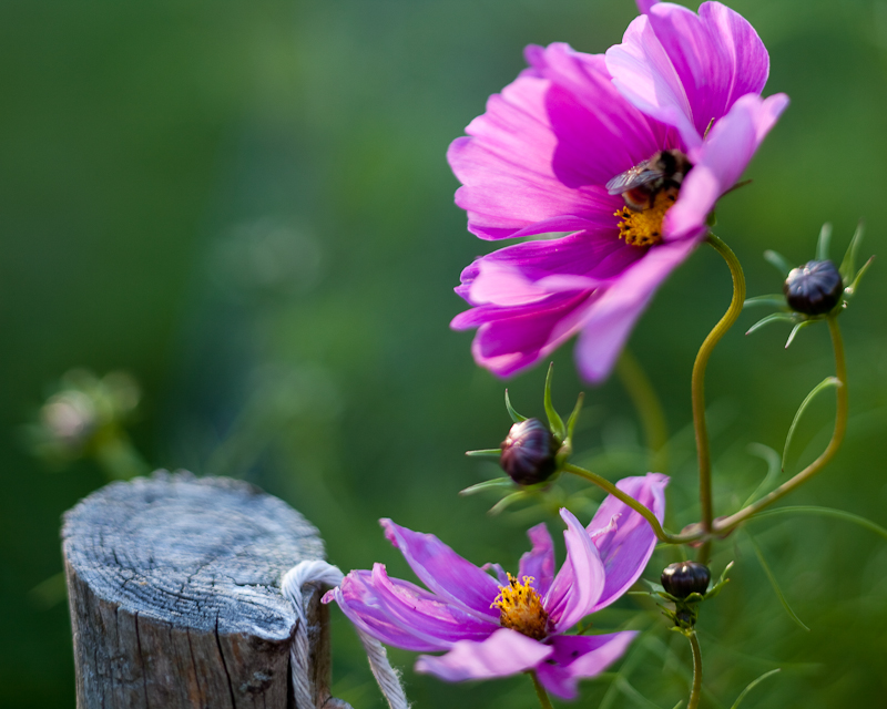 Cosmos, Bee and Fencepost