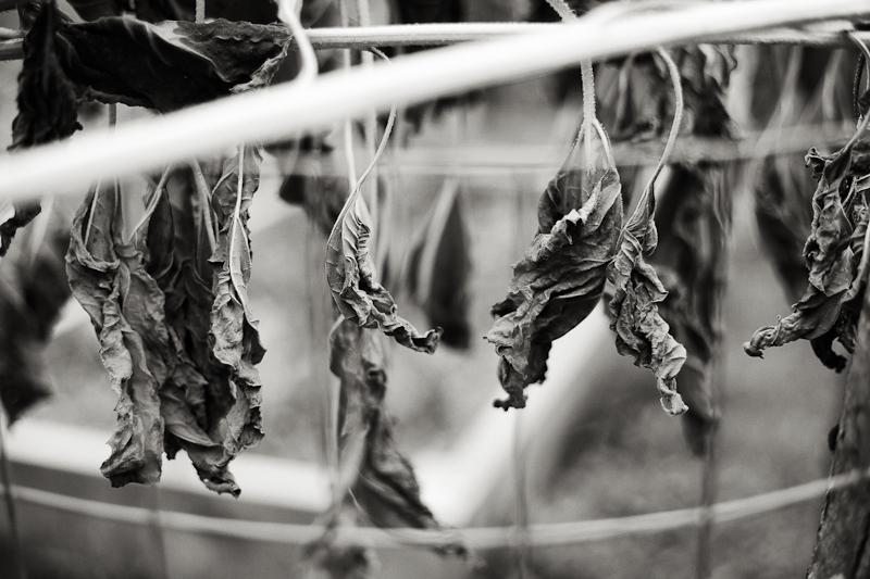Leaves of Dead Sunflowers