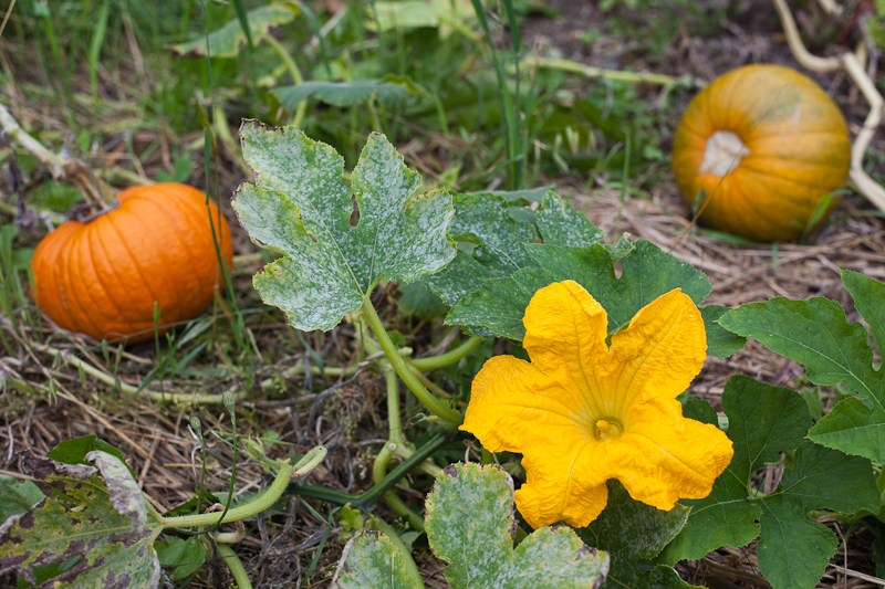 Pumpkin Blossom with Two Pumpkins