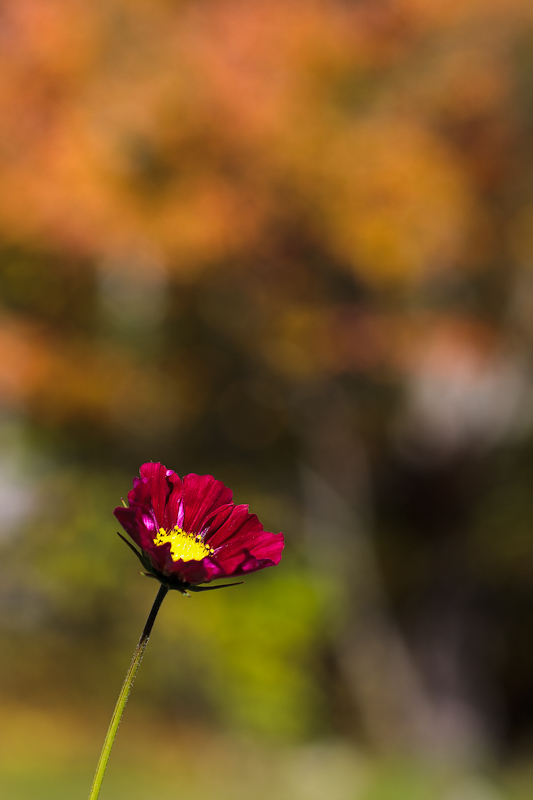Autumn Cosmo