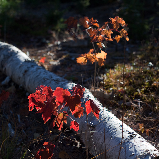 Backlit Young Foliage and Fallen Birch