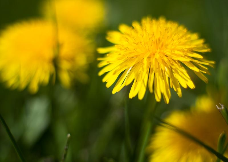Dandelion Close-up #1