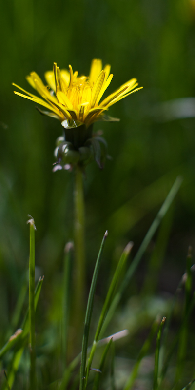 Dandelion Close-up #3