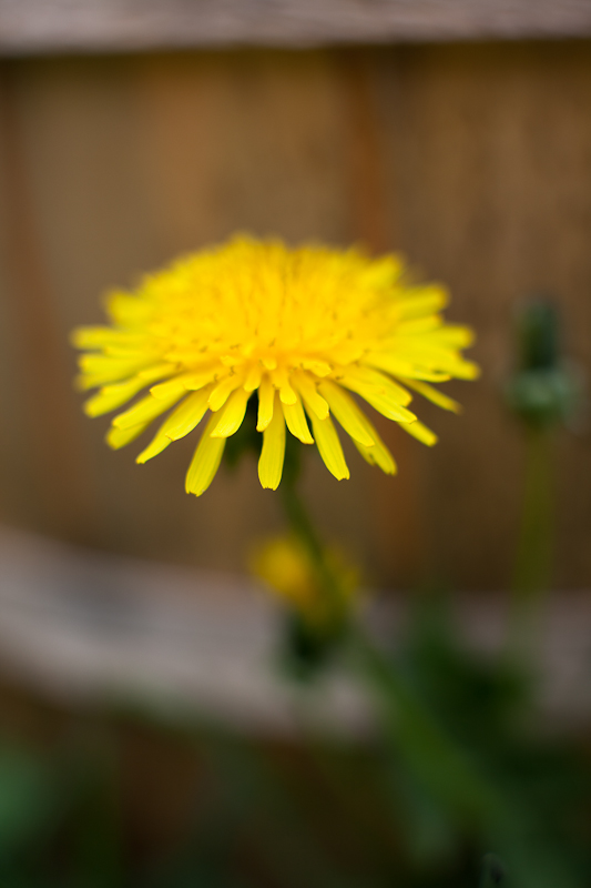 Dandelion by Bucket