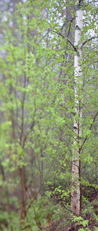 Foggy Day Birch
