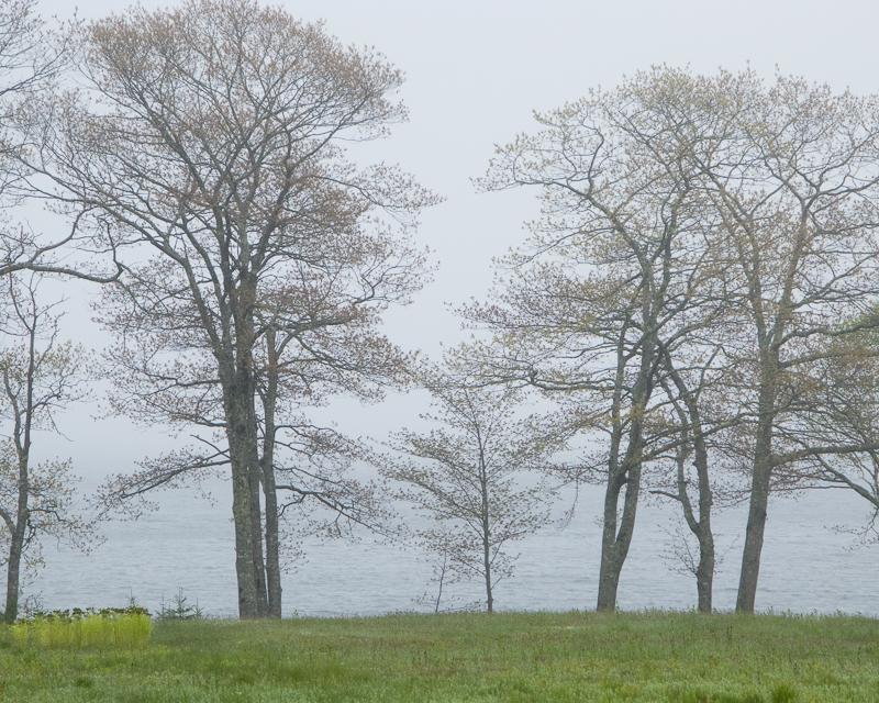 Foggy Bayside Trees #2
