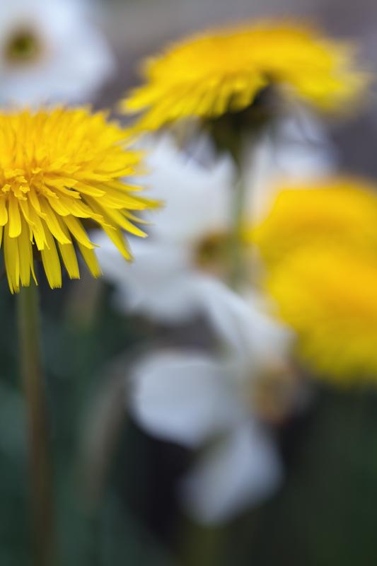 Dandelions and Jonquils #1
