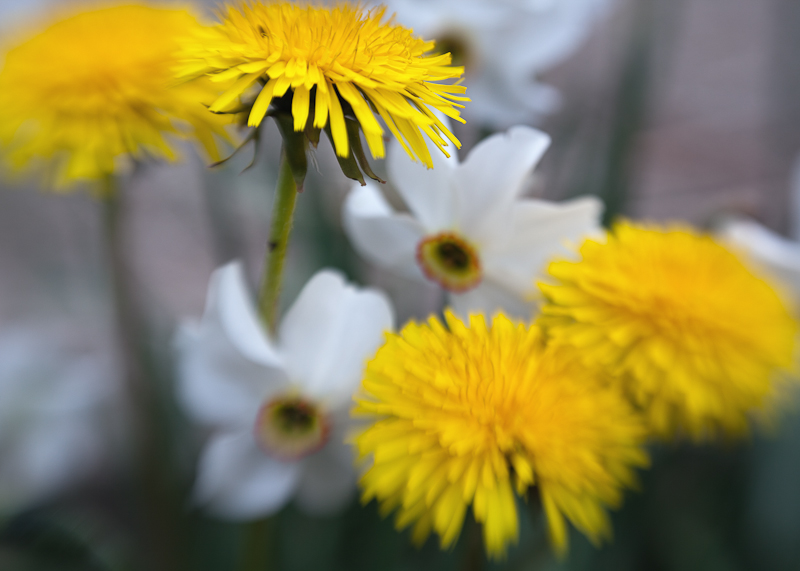 Dandelions and Jonquils #2