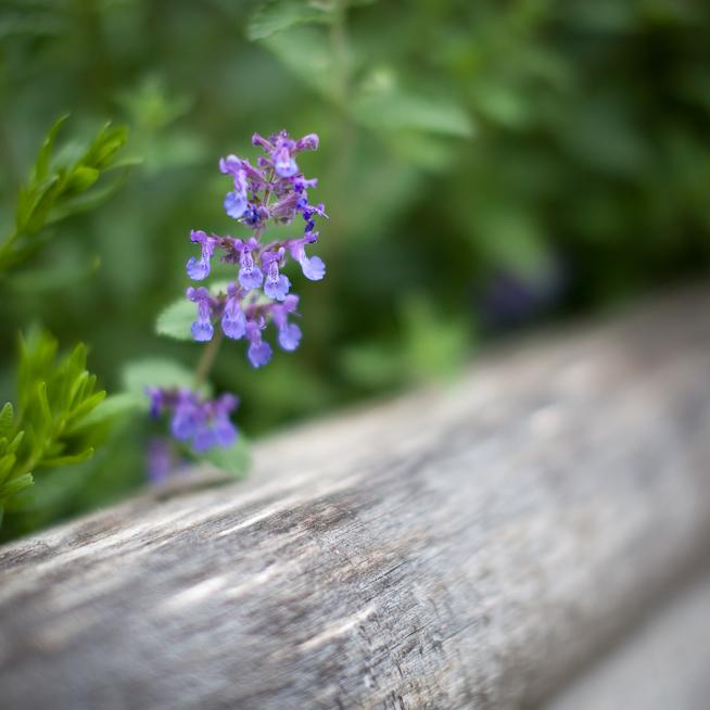 Catnip Flower