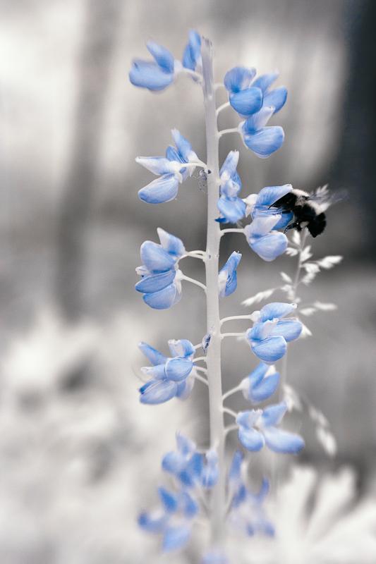 Bee on Lupine
