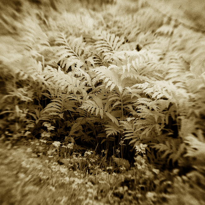 Fern Clump