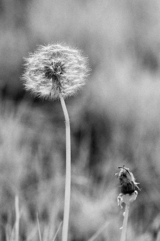Dandelion Odd Couple