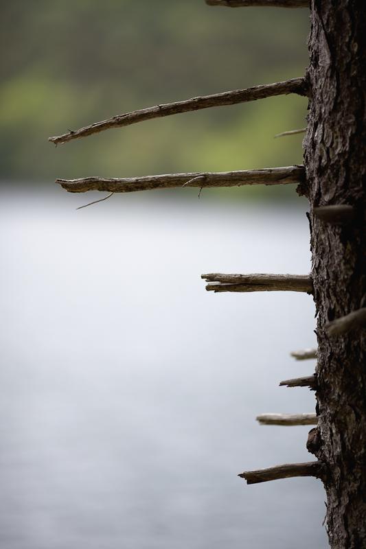 Broken Pine Limbs
