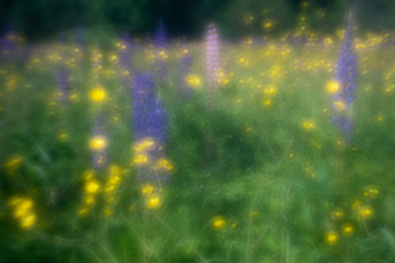 Lupines and Buttercups #2