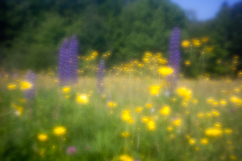 Lupines and Buttercups #3