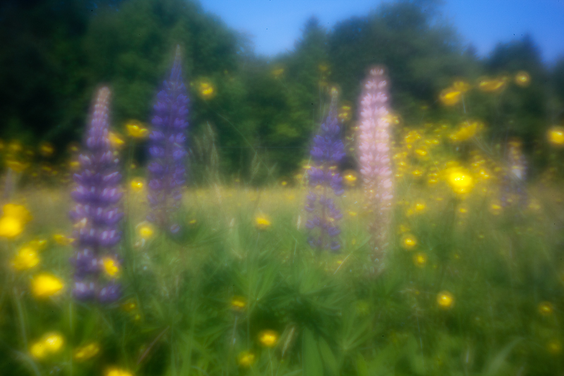 Lupines and Buttercups #4