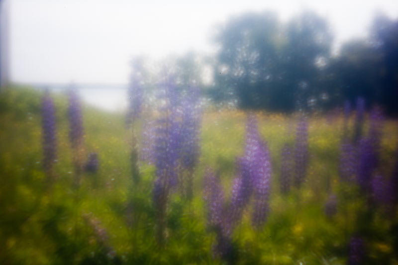 Lupines by Patten Bay