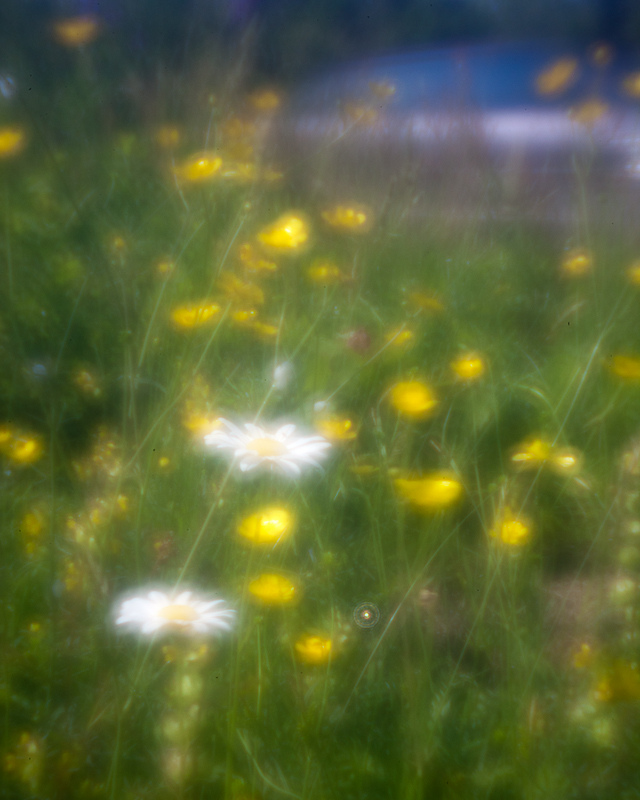 Daisies and Buttercups with Passing Car