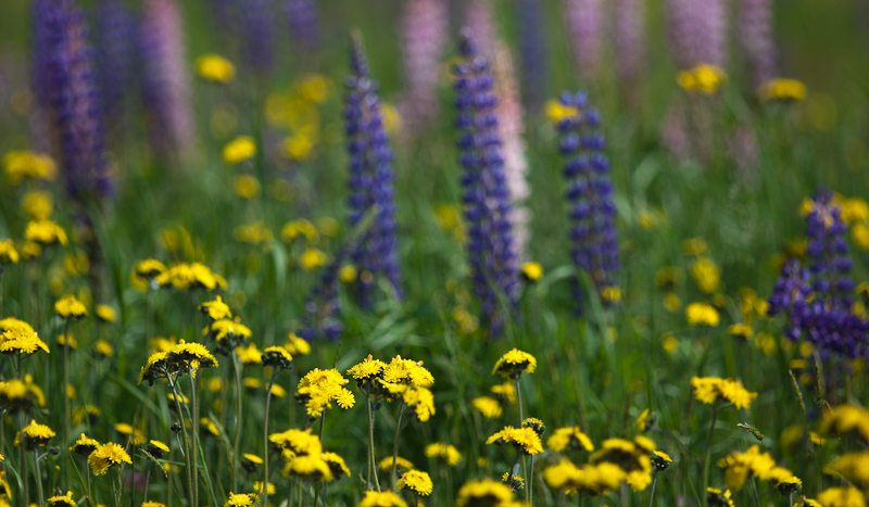 Yellow Hawkweed by Lupines