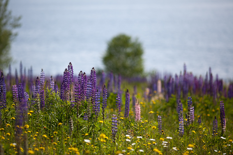 Yelow Hawkweed and Lupines by Patten Bay