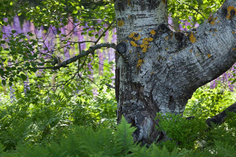 Tree by Lupine Field