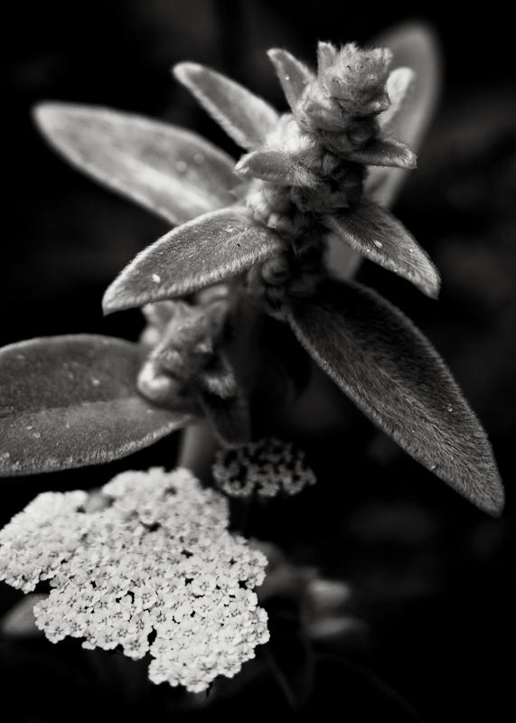 Yarrow Flower and Lambs Ear