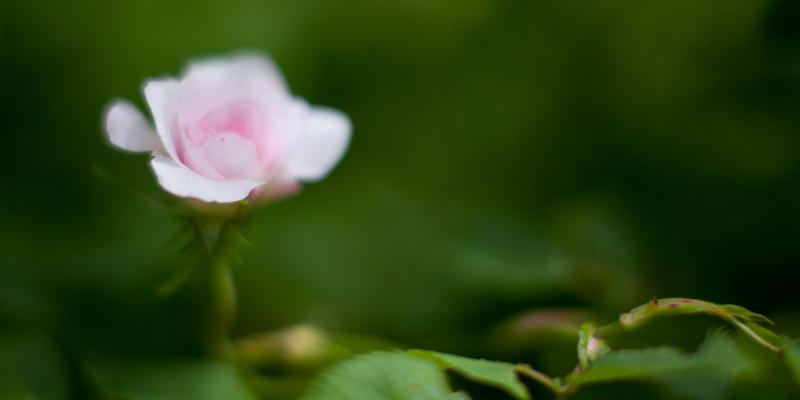 Small Pink Tea Rose #2